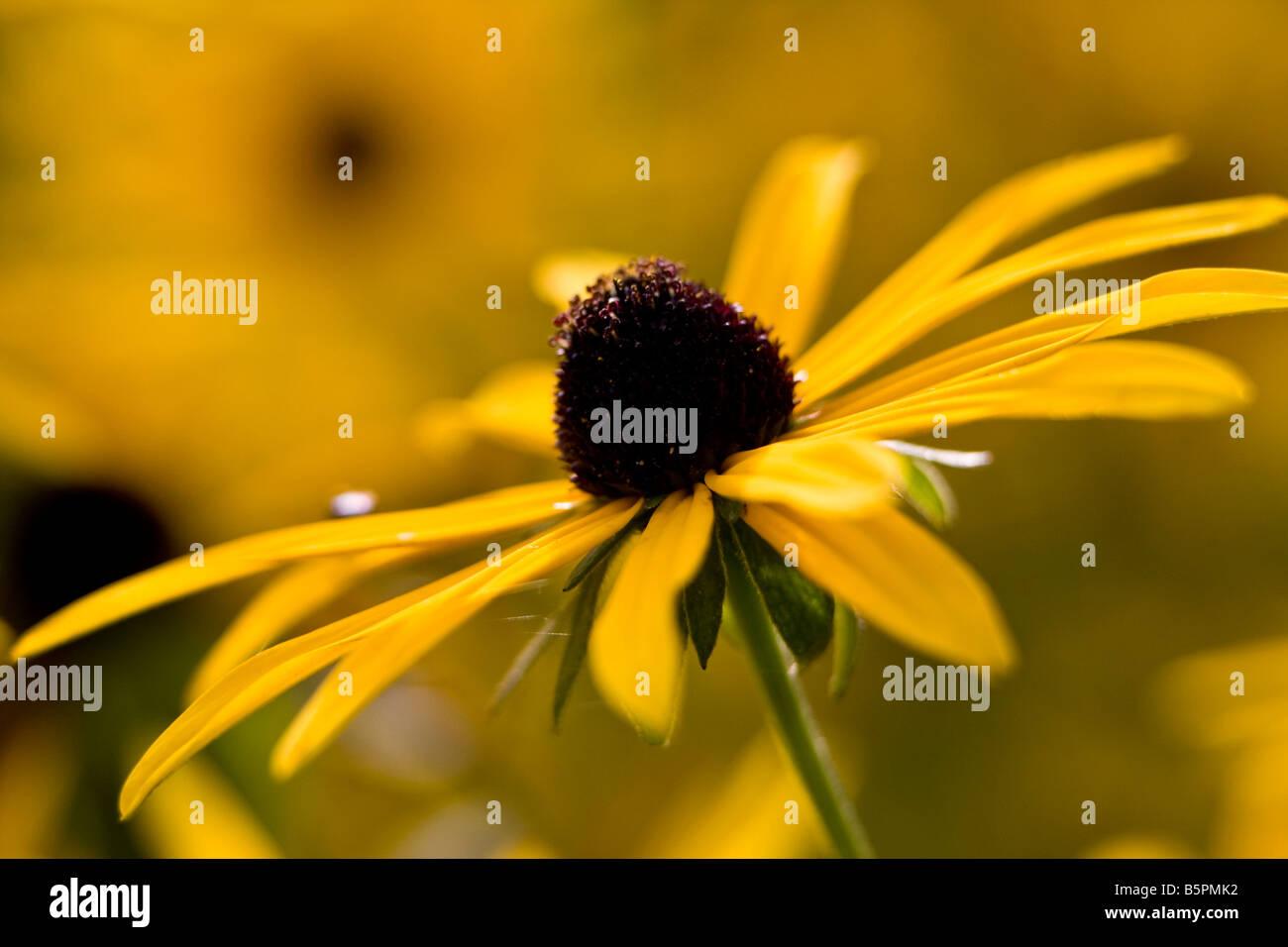 Rudbeckia Fulgida Dreamii - Stock Image