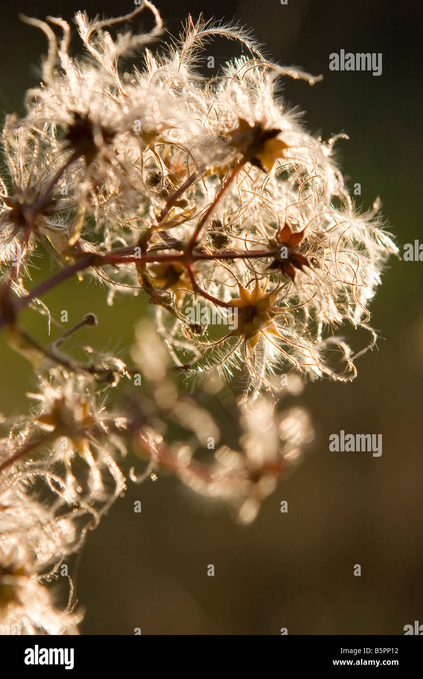 Old Man's Beard in late evening sunshine - Stock Image