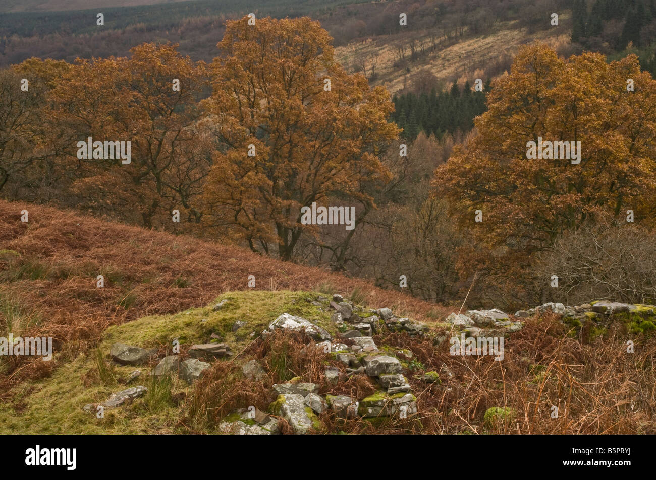 Oak Trees in autumn in the Brecon Beacons Wales - Stock Image
