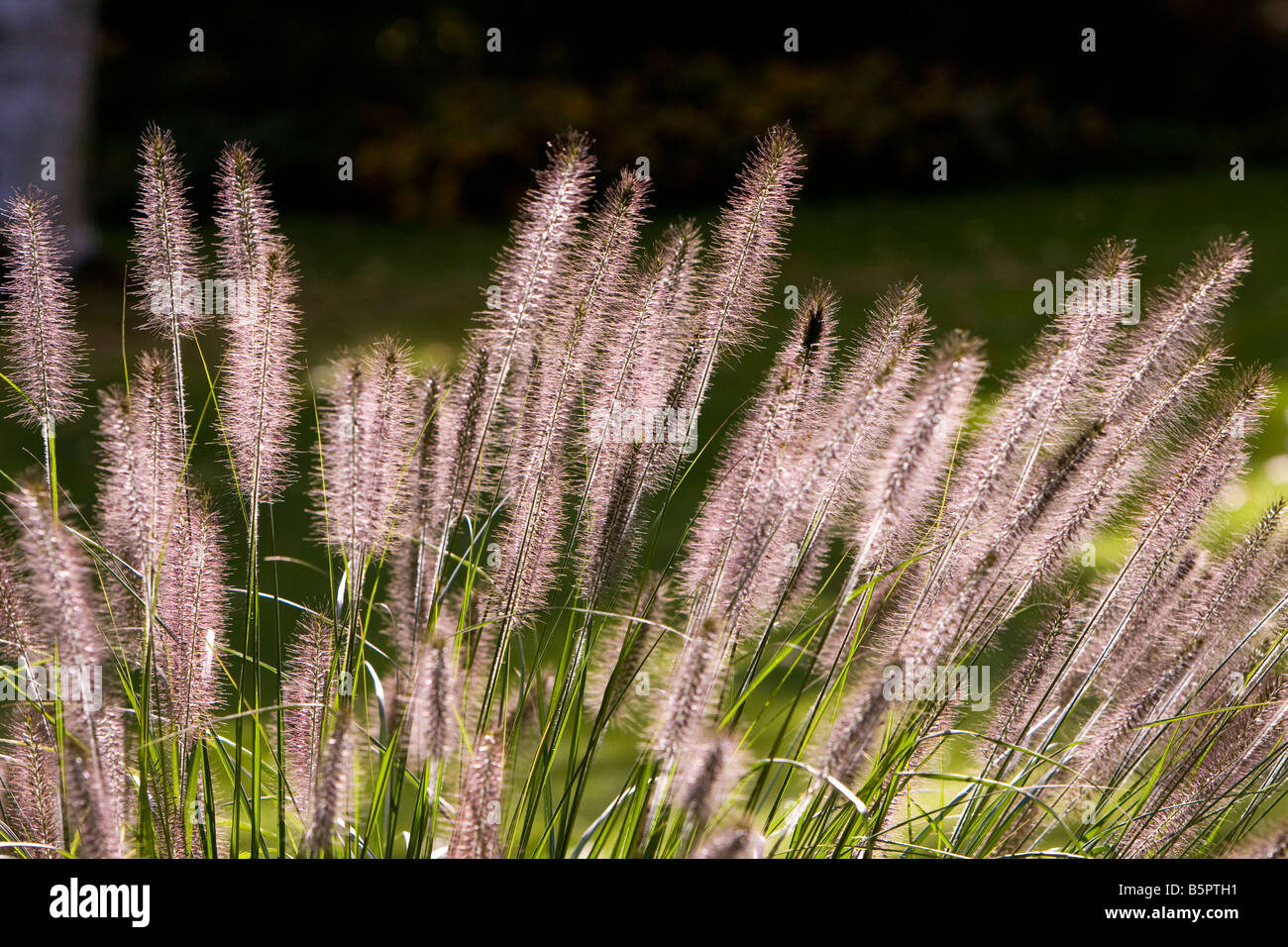 Pennisetum alopecuroides chinese fountain grass - Stock Image