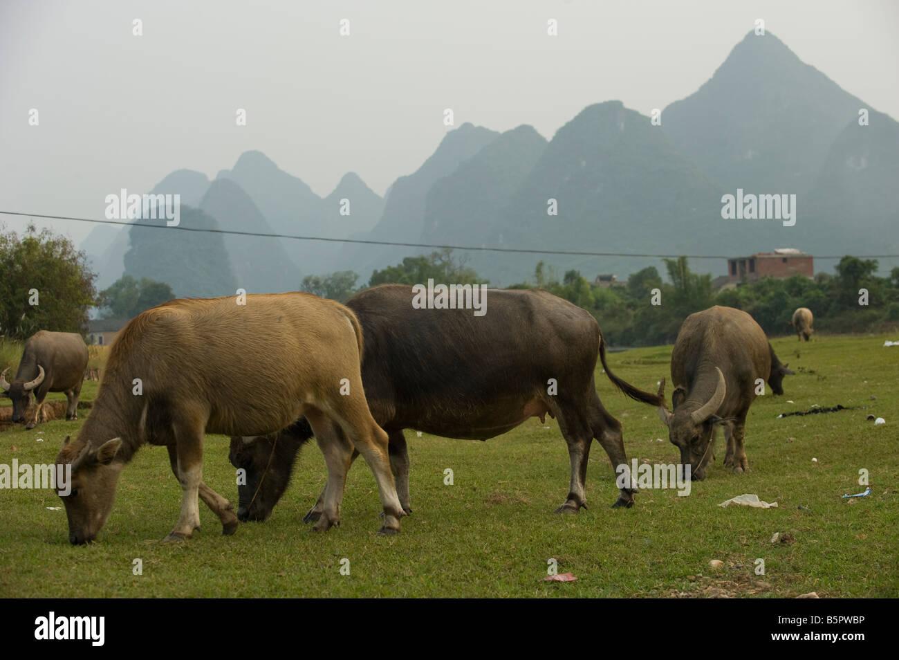 Farming water buffalos in Guilin, near Yangshou, in Guangxi Province, south China - Stock Image