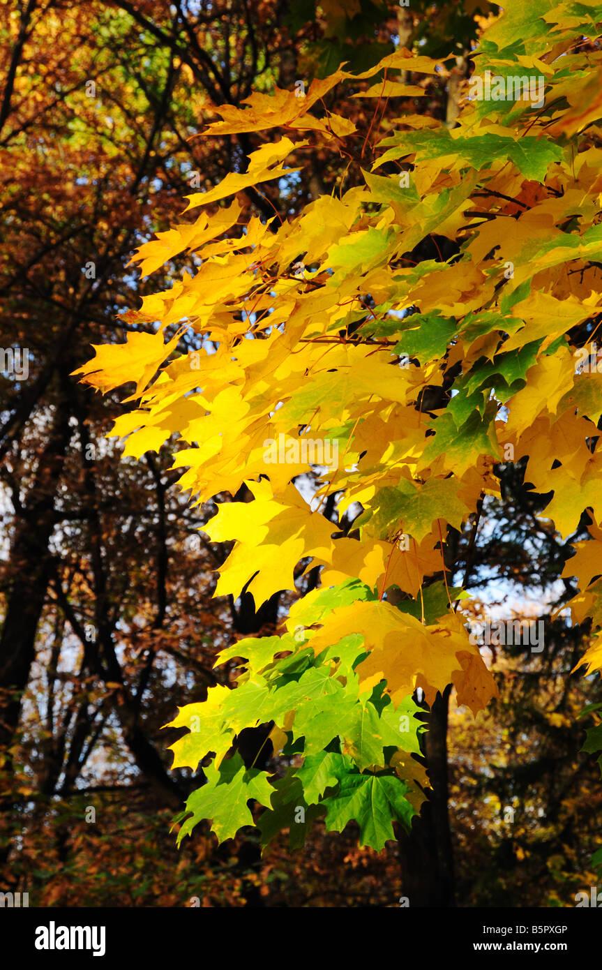 Multi coloured maple leaves in autumn park - Stock Image