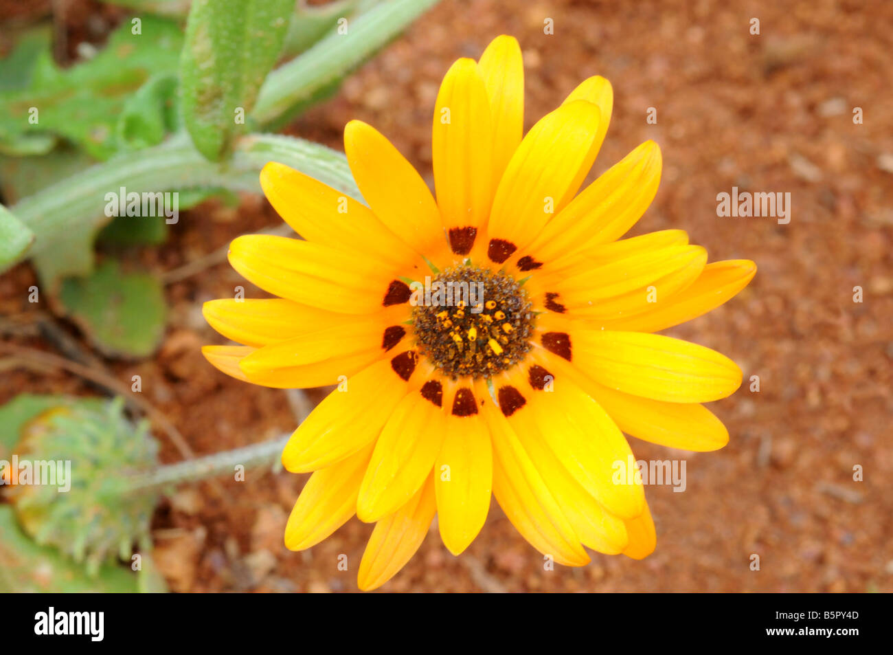 Yellow Daisy growing in the red sands of Namaqualand - Stock Image