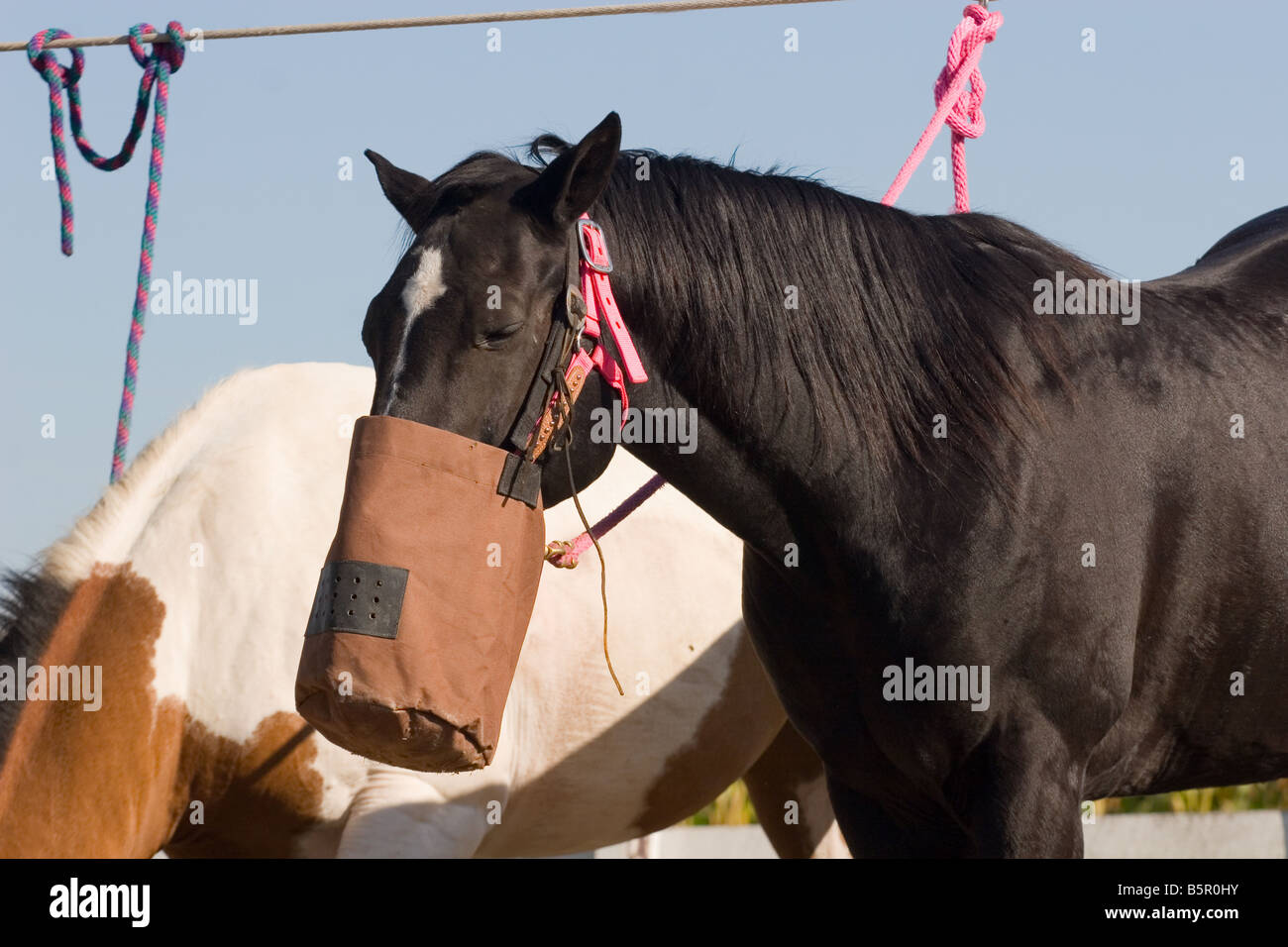 07512e3c8c Horse eating grain out of a nose bag on a picket line - Stock Image