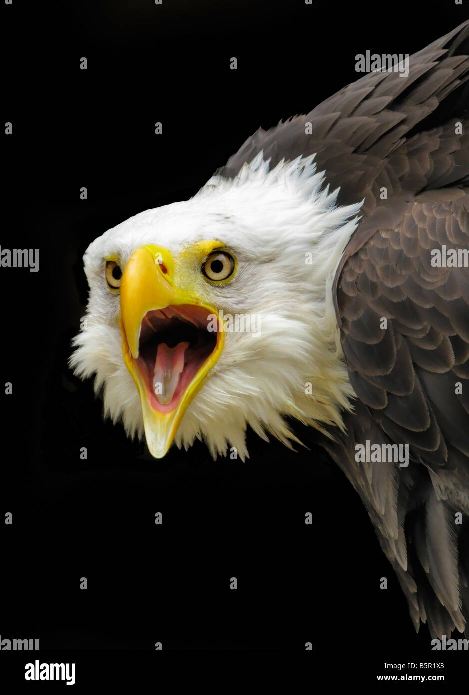 Head and shoulders of a captive 'bald eagle' against a black background. The beak is open. - Stock Image