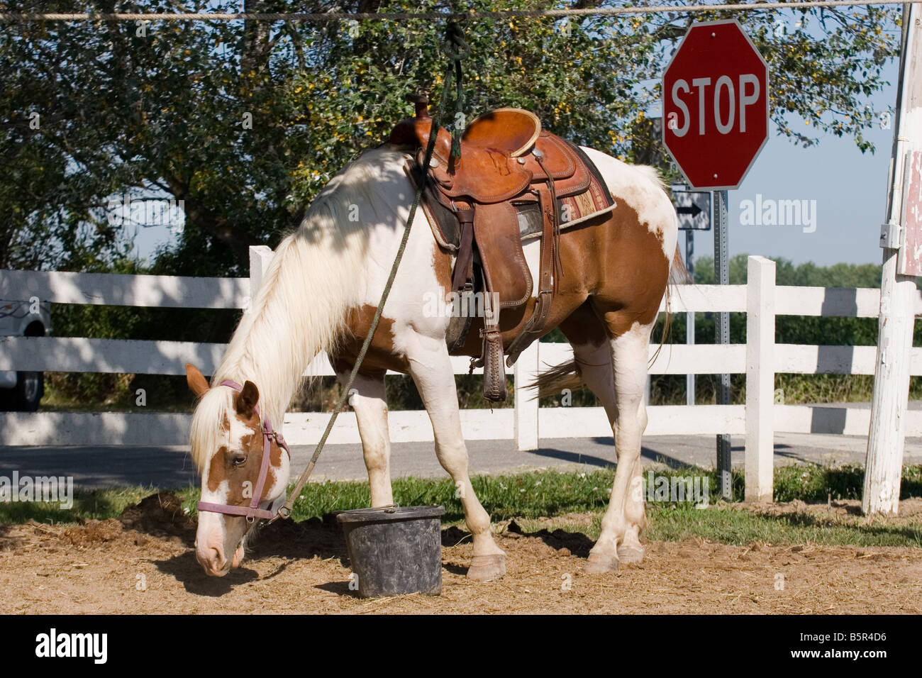 Sorrel and white overo paint horse filly on picket line wearing western saddle eating hay off ground - Stock Image