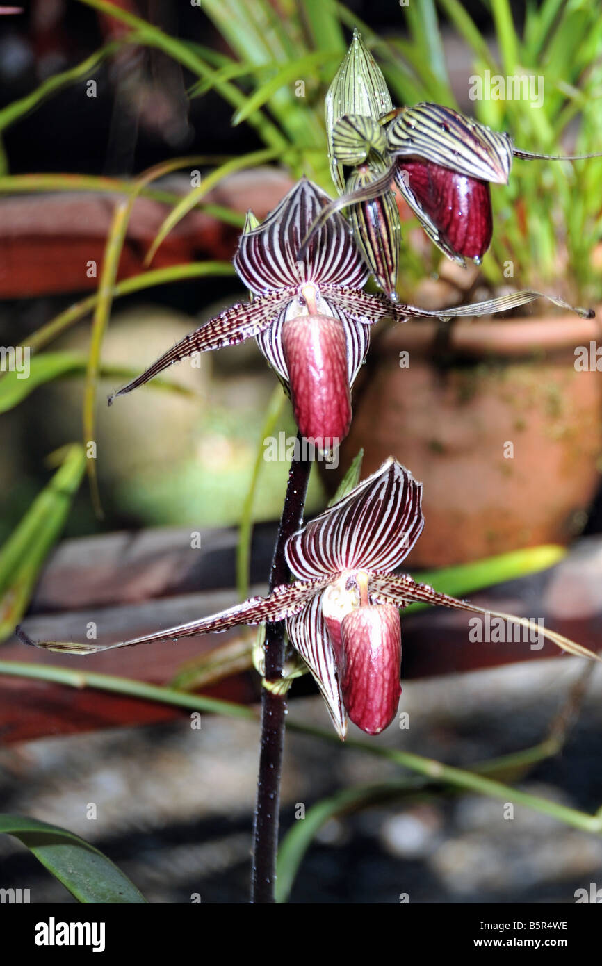 Rare mountain orchids (Paphiopedilum rothschildianum) in Mount Kinabalu Botanical Garden - Stock Image