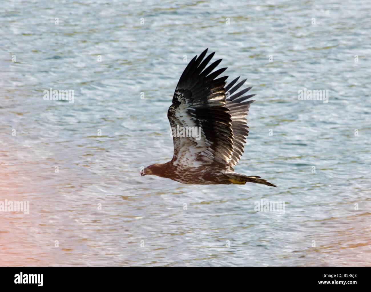 Bald Eagle, Oxbow Bend, Snake River, Grand Teton National Park; Wyoming; USA - Stock Image