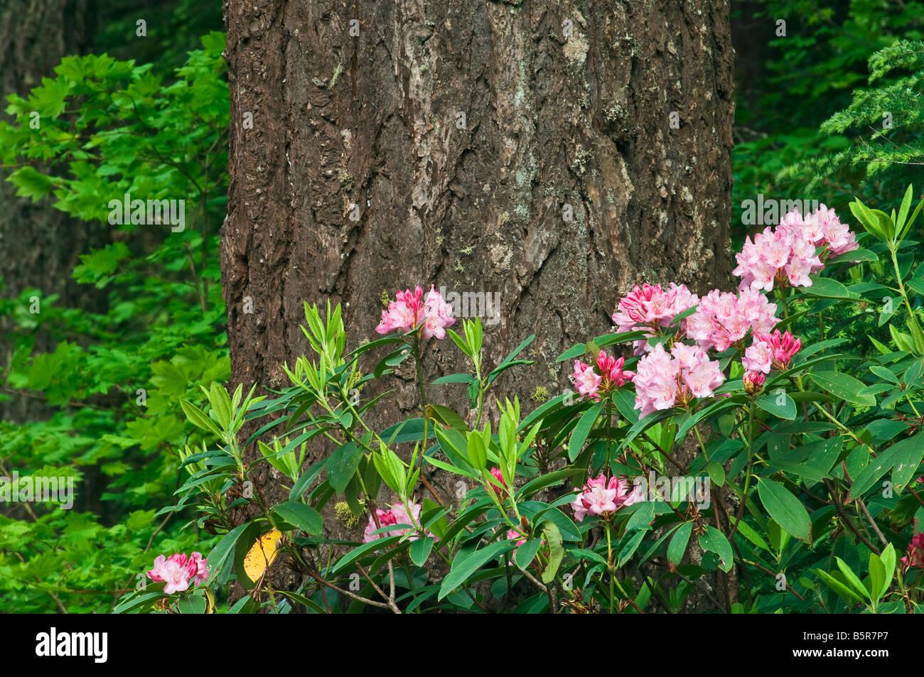 Rhododendron and Douglas fir Cascade Mountains Oregon Stock Photo