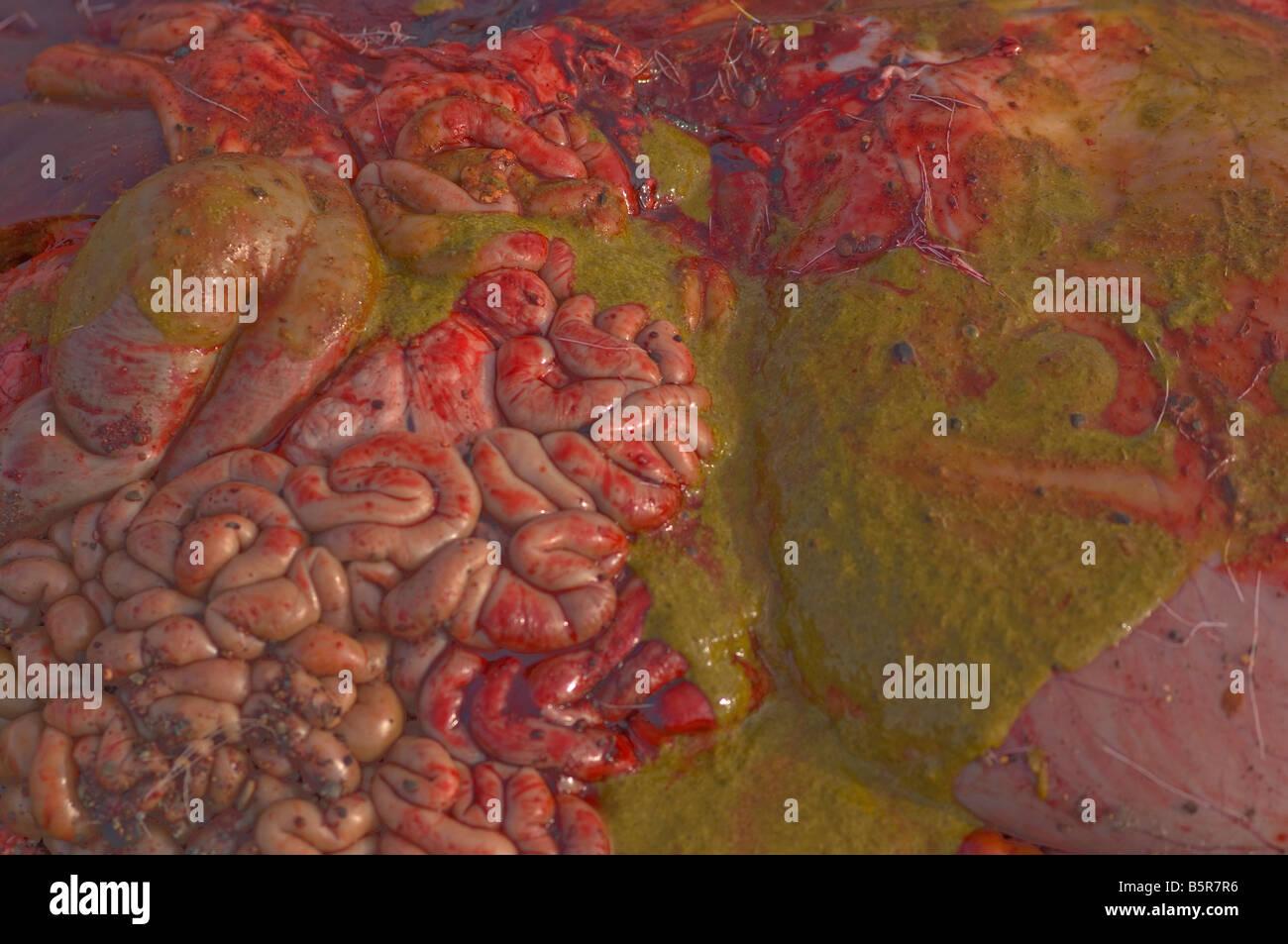intestines bile blood caribou ungulate mammal animal - Stock Image