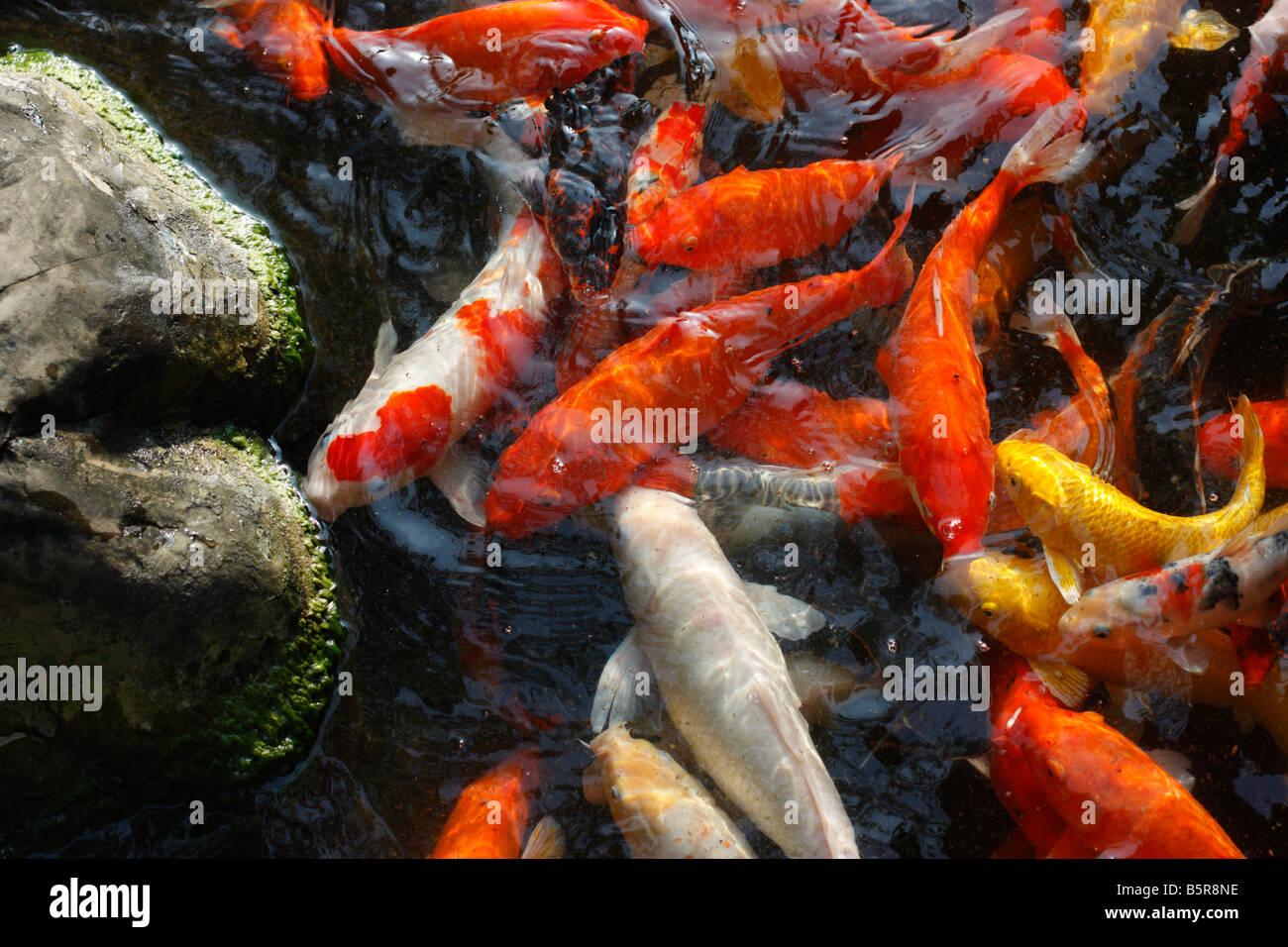 Koi Fish Stock Photos & Koi Fish Stock Images - Alamy