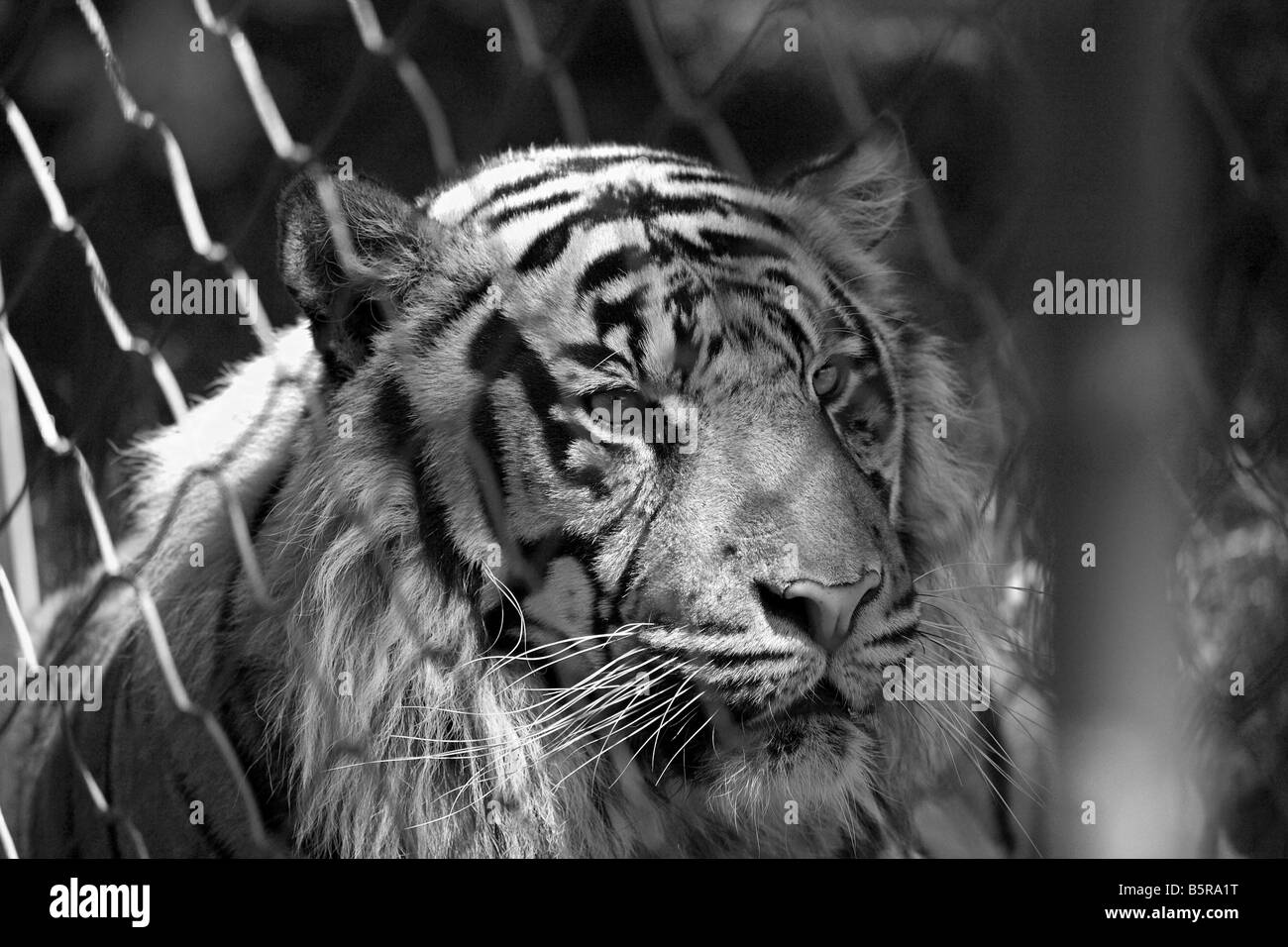 A captive tiger in a zoo in black and white - Stock Image