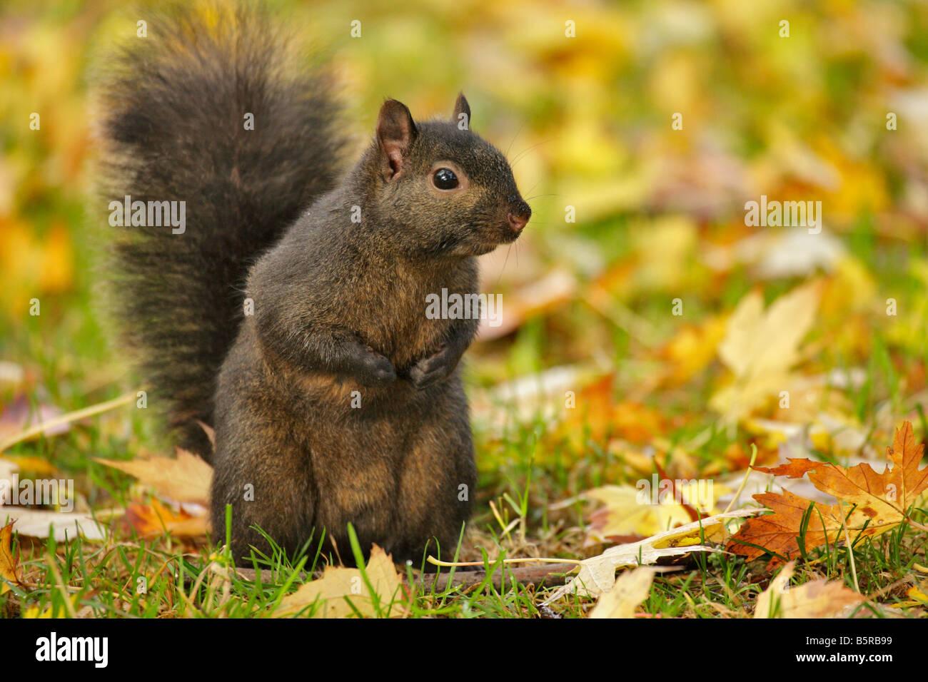 Black squirrel sub species of grey squirrel in leaves in fall Victoria British Columbia Canada Stock Photo