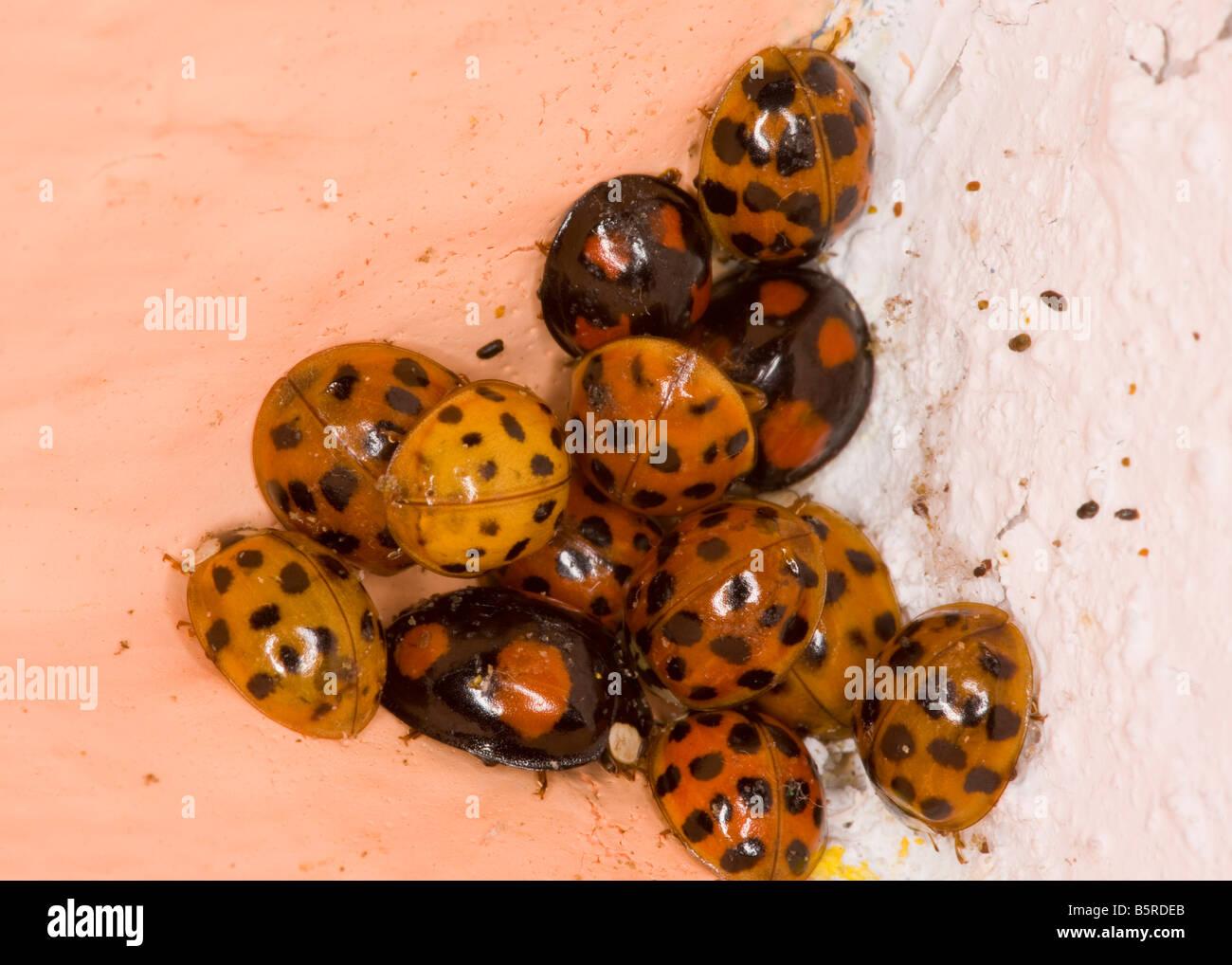 Cluster of Harlequin Ladybirds Harmonia axyridis in winter corner of bedroom Hampshire - Stock Image