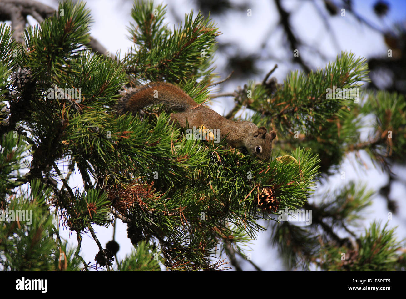 Red Squirrel harvesting Lodgepole Pine cones in fall, Teton National Park, Wyoming - Stock Image