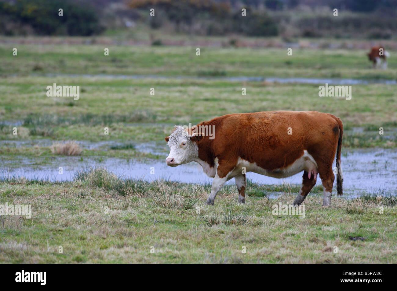 Cow single adult walking on marshland Taken November Hampshire UK - Stock Image