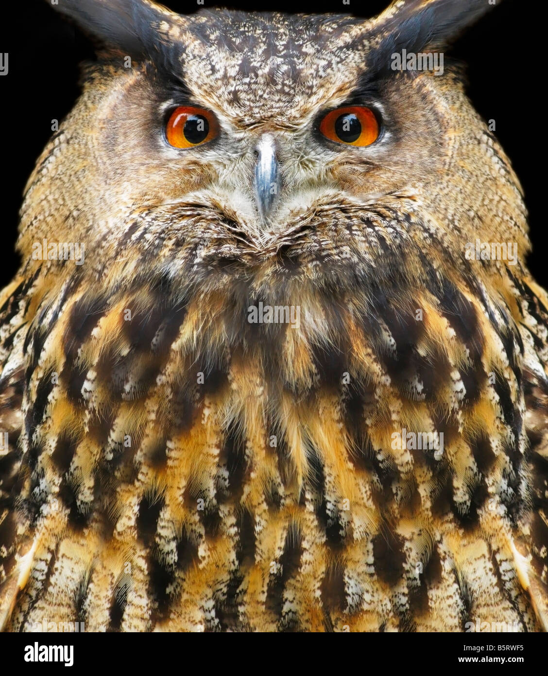 A captive European eagle owl stares at the viewer - Stock Image