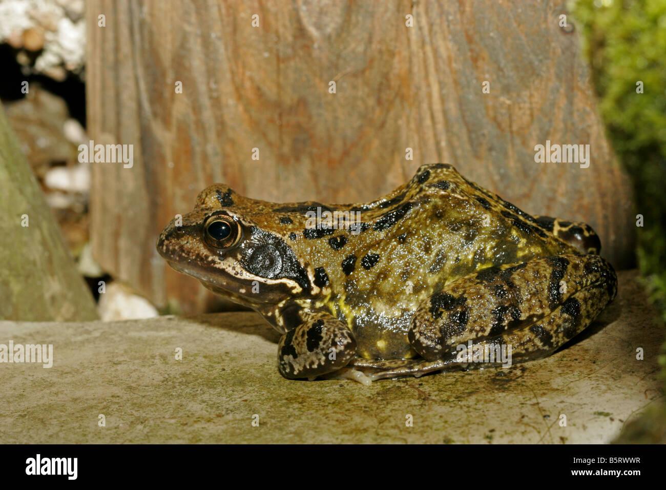 Common Frog Rana temporaria single adult resting on ledge of garden pond Taken June London UK - Stock Image