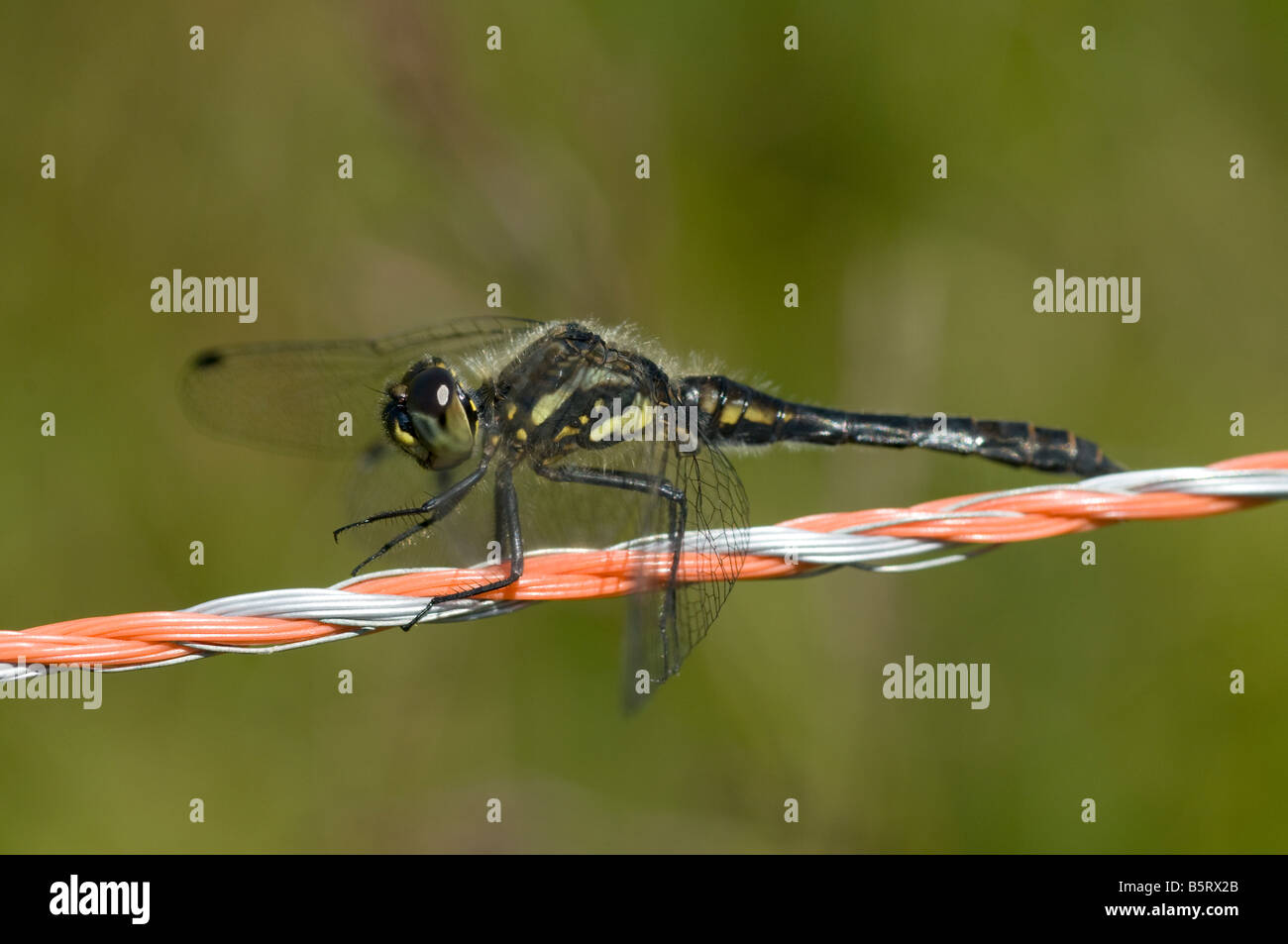 Electric Fence Insect Stock Photos Wire Dragonfly Sympetrum Danae Black Darter Perched On