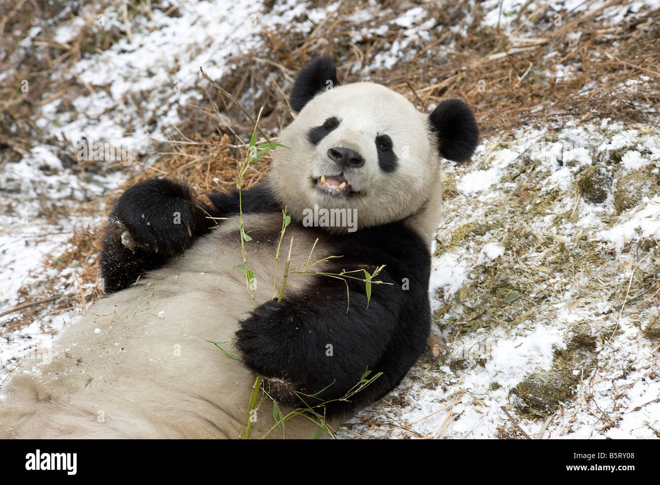 Giant panda Ailuropoda melanoleuca lying on snow to feed on bamboo Wolong Sichuan China Stock Photo
