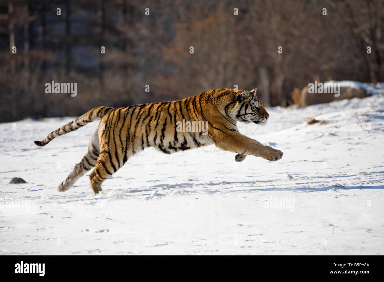 Amur or Siberian tiger Panthera tigris altaica running on snow in north east China Heilongjiang - Stock Image