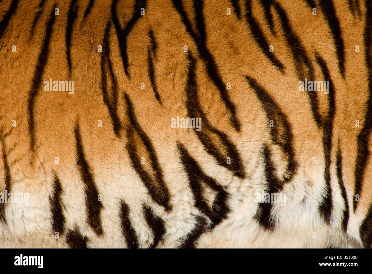 Skin of Amur of Siberian tiger Panthera tigris altaica sparring in winter in Heilongjiang China - Stock Image