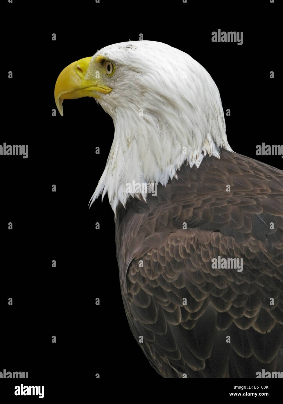 Head and shoulders of a captive 'bald eagle' against a black background. Closed beak. - Stock Image
