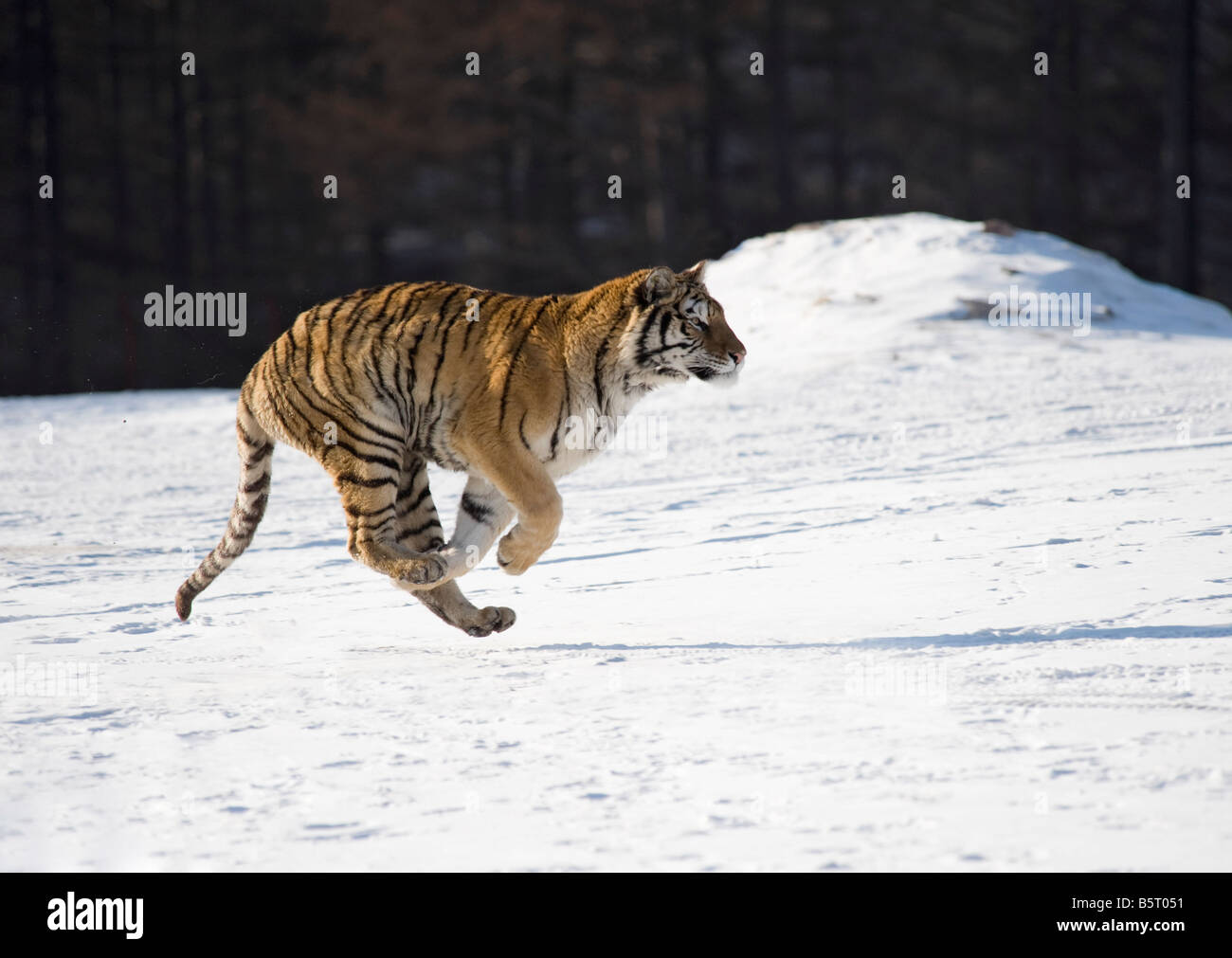 Amur or Siberian tiger Panthera tigris altaica running on snow in sun in north east China Heilongjiang - Stock Image