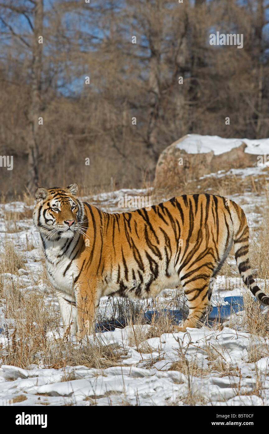 Amur of Siberian tiger Panthera tigris altaica in winter in Heilongjiang China - Stock Image