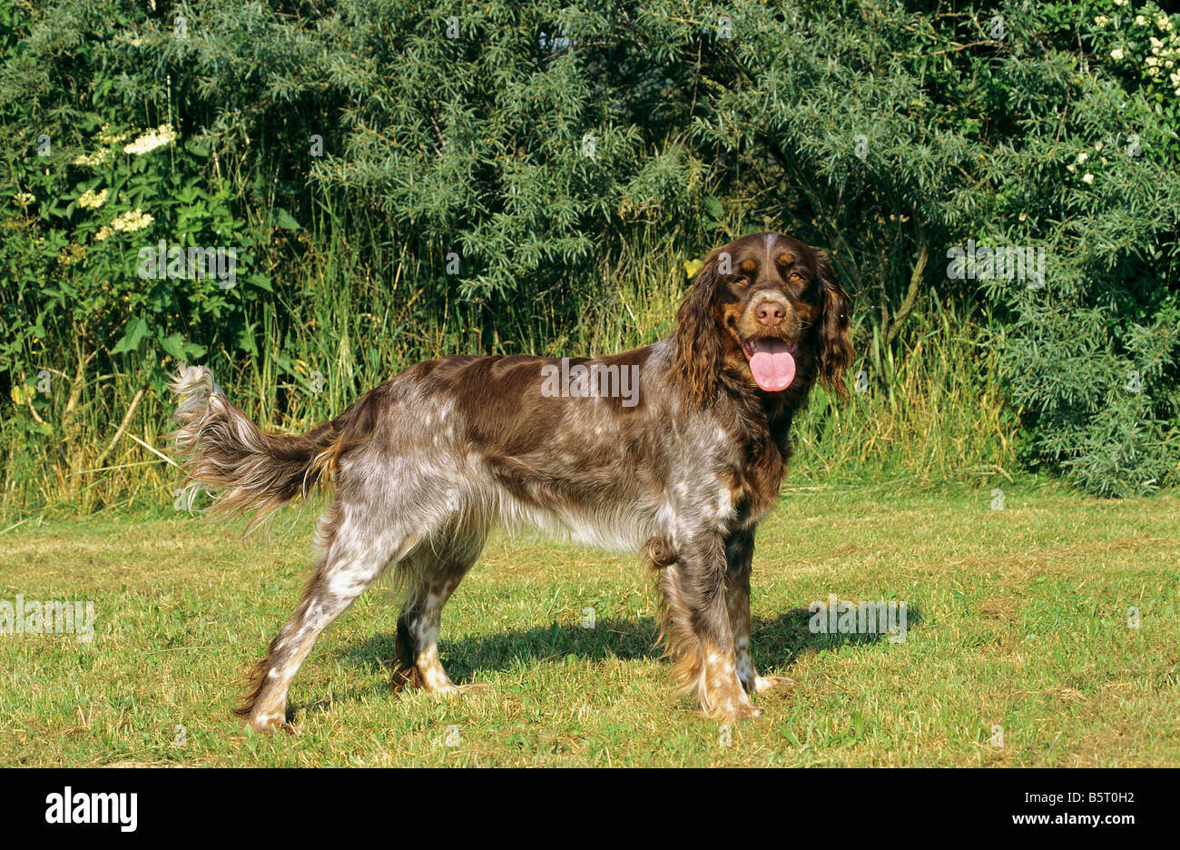 Picardy Spaniel - standing on meadow Stock Photo