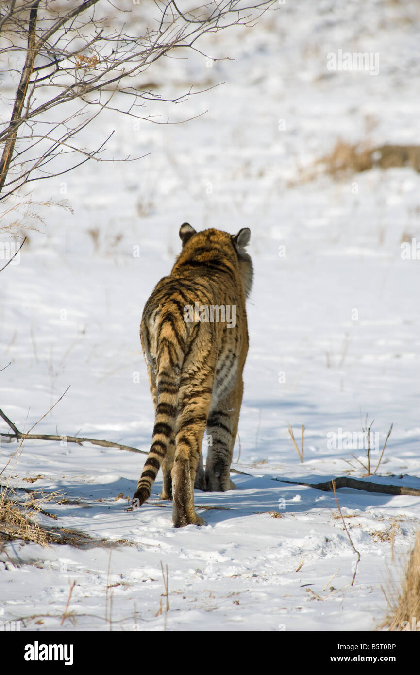 Rear view of Amur or Siberian tiger Panthera tigris altaica walking on snow Heilonngjiang NE China - Stock Image