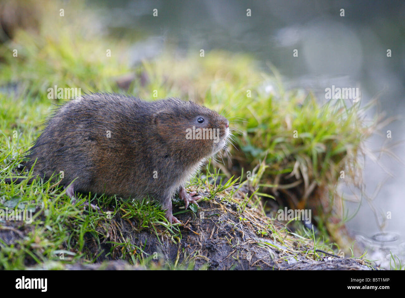 Water Vole Arvicola terrestris single adult sitting on river bank Taken February West Sussex UK - Stock Image