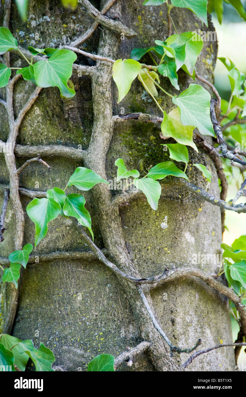 Ivy on a tree, close-up. - Stock Image