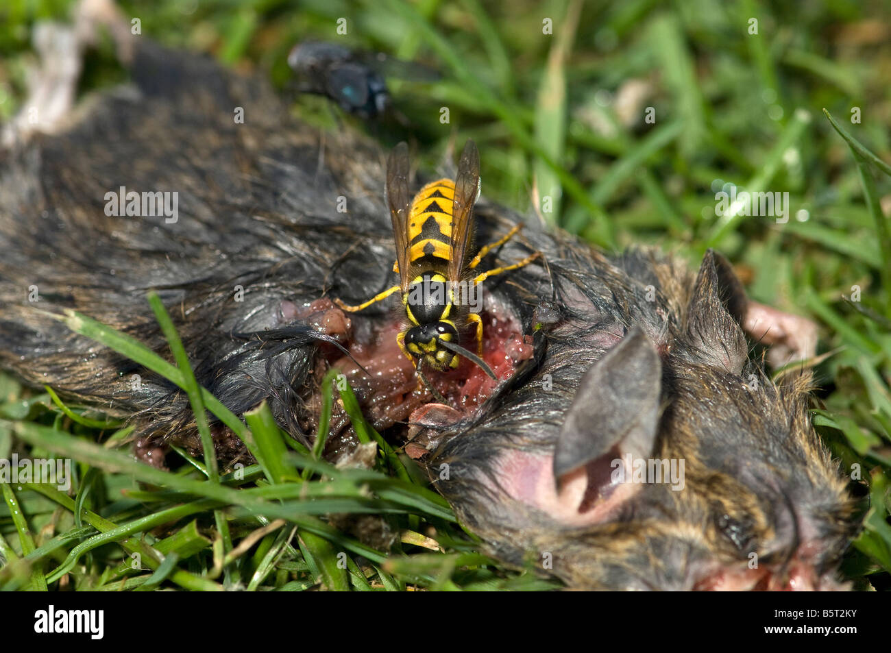 Common wasp Vespula vulgaris collecting flesh from dead mouse to feed brood Stock Photo