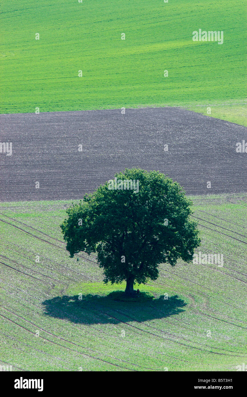Solitary tree with shadow in field with spring crop beginning to sprout - Stock Image
