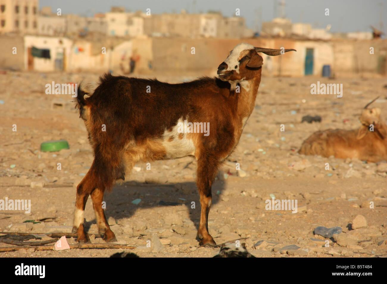 Goat outside shanty town Nouadhibou Mauritania Western Sahara - Stock Image