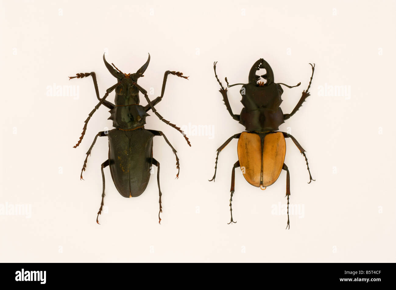 two tropical insects bugs beetles brown black - Stock Image