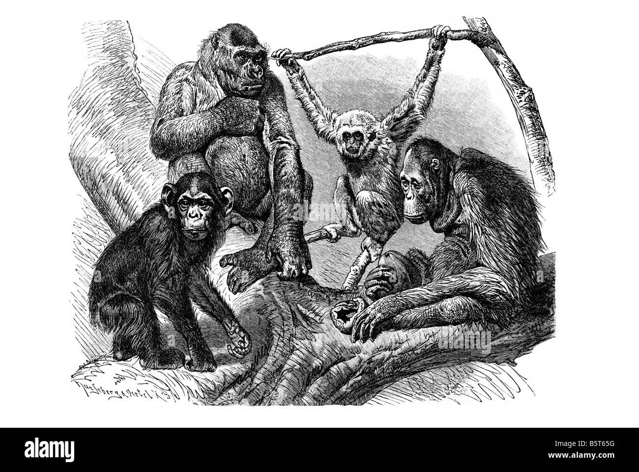 chimpanzee gorilla gibbon orangutan group apes Stock Photo
