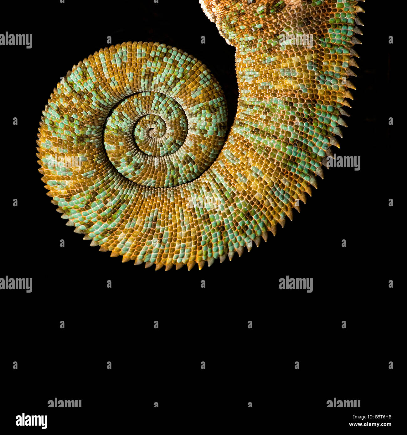 Male veiled or Yemen chameleon Chamaeleo catytratus coiled tail - Stock Image