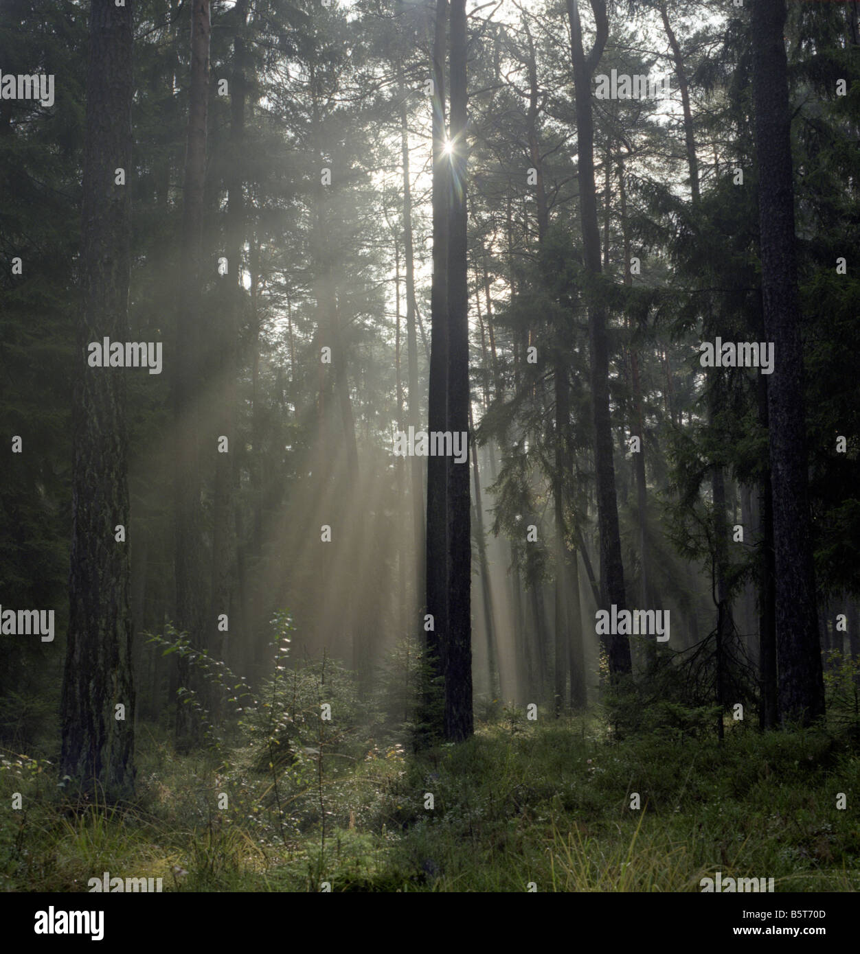 Sun behind pines and norway spruce in a forest in Germany. Sunbeams are slicing through the fog. - Stock Image