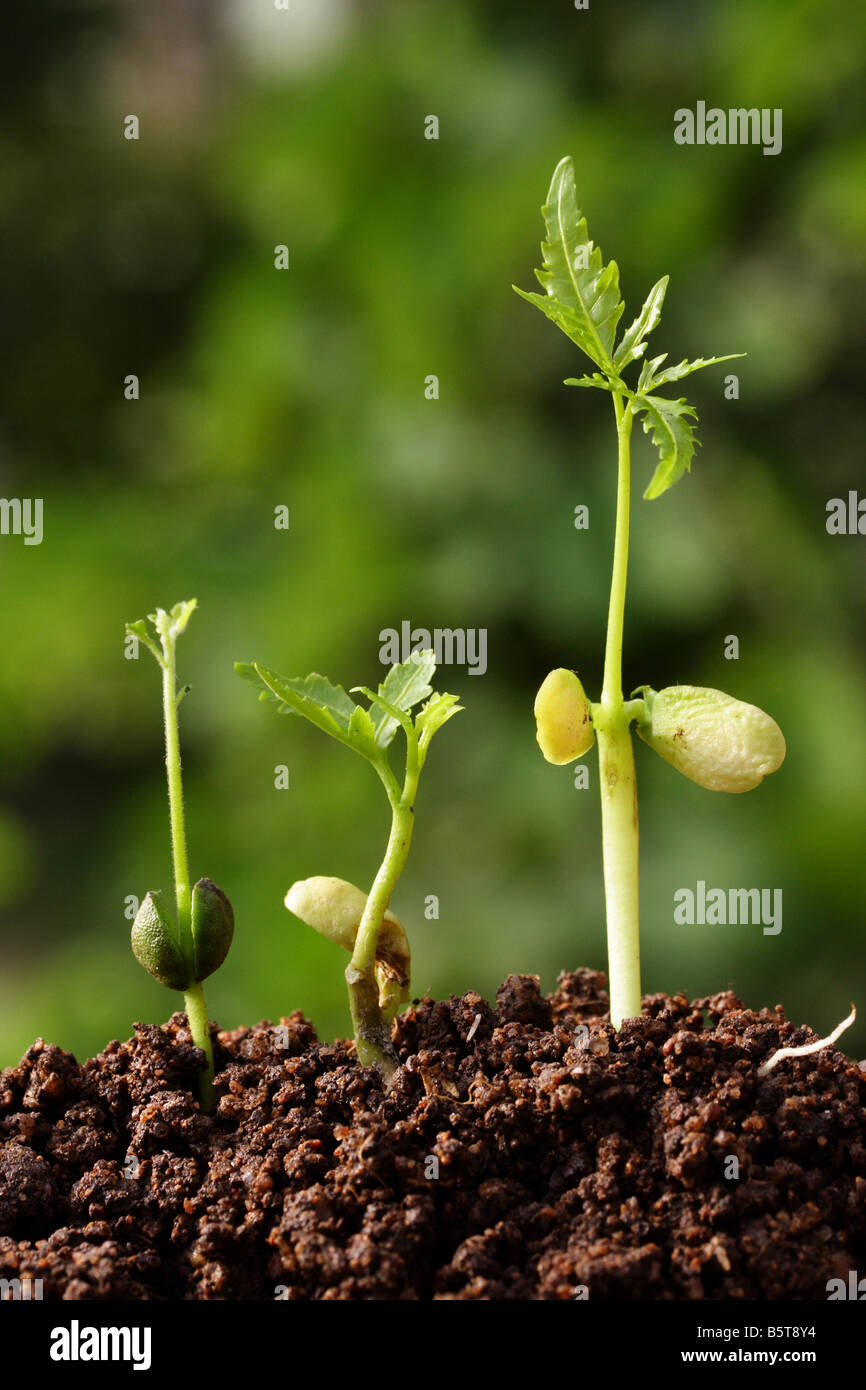 Progression of seedling growth - Stock Image