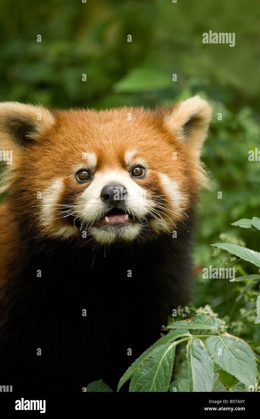 Red or lesser panda Ailurus fulgens styani Wolong Sichuan Province China - Stock Image