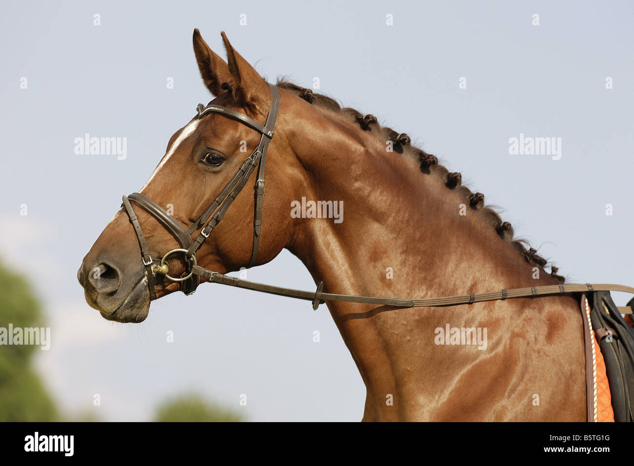 Oldenburg horse with snaffle bit - Stock Image