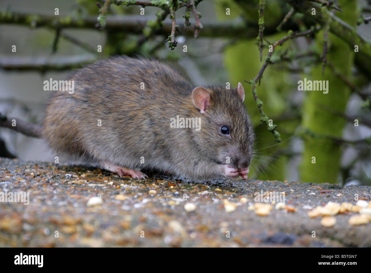 Brown Rat Rattus norvegicus single adult feeding on seeds in winter Taken February Lea Valley Essex UK - Stock Image