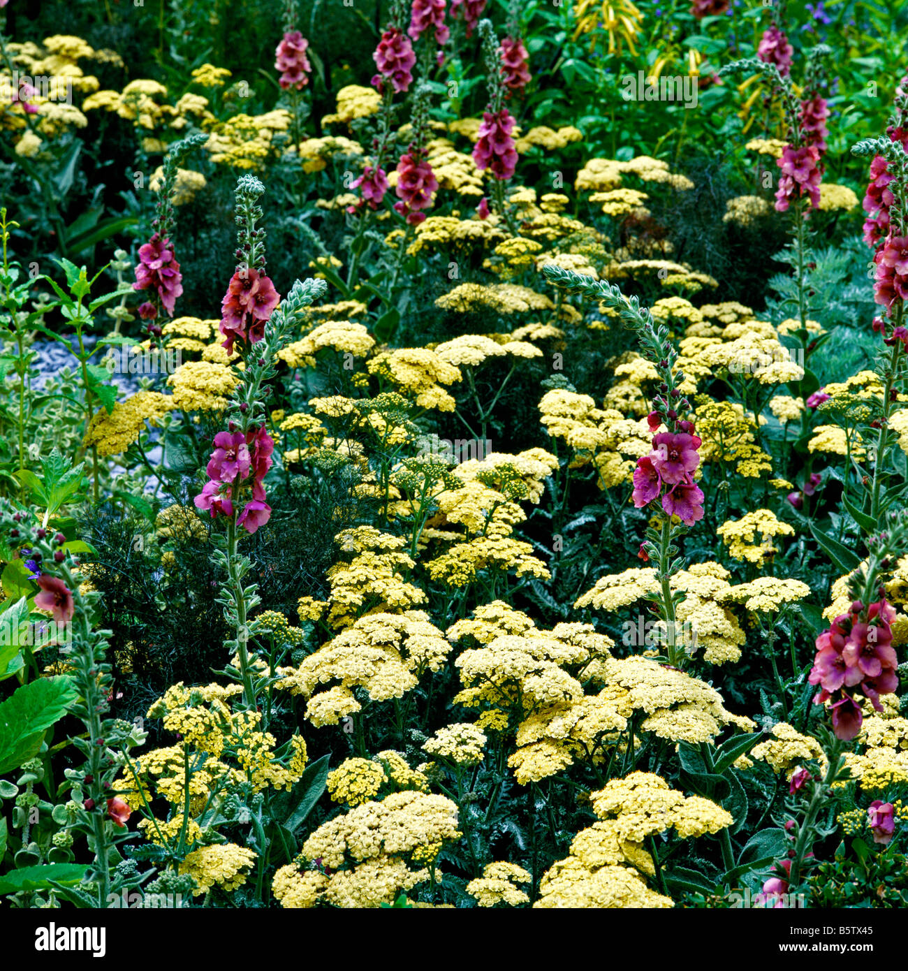 A flowering border of Achillea Moonshine with Purple verbascum - Stock Image