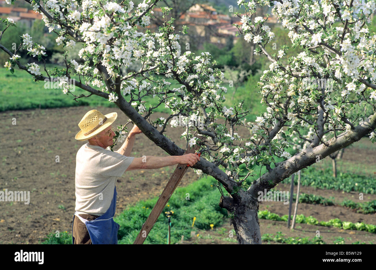 Man on a ladder pruning a fruit tree with secateurs - Stock Image