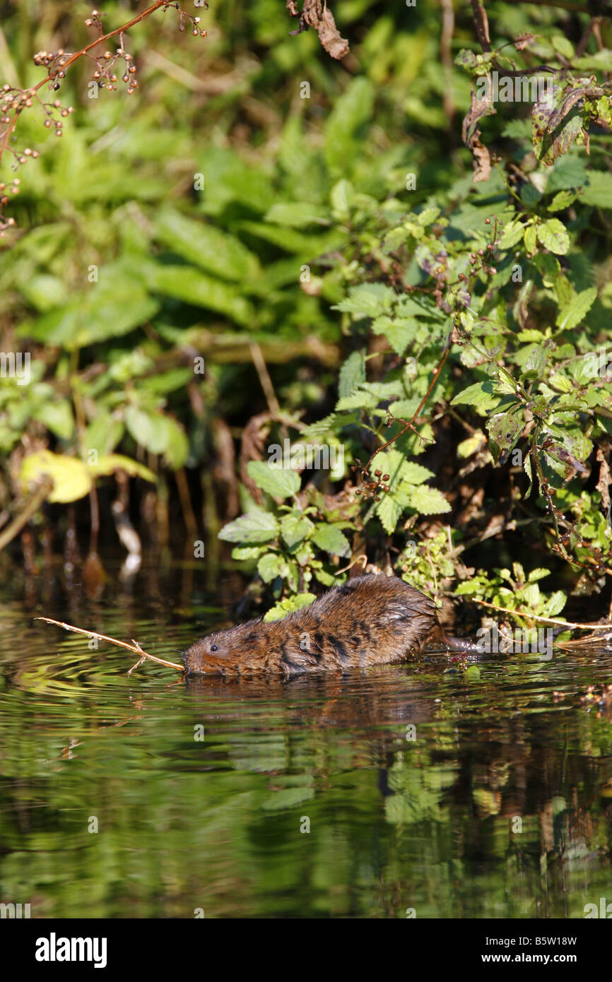 Water Vole Arvicola terrestris single adult swimming in canal Taken October Derbyshire UK - Stock Image