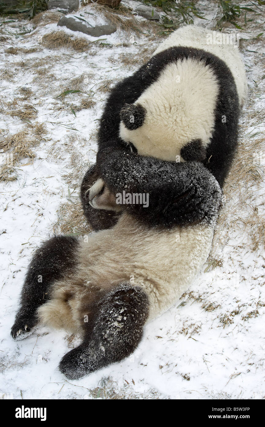 Giant panda Ailuropoda melanoleuca cubs playing on snow Wolong Sichuan China Stock Photo