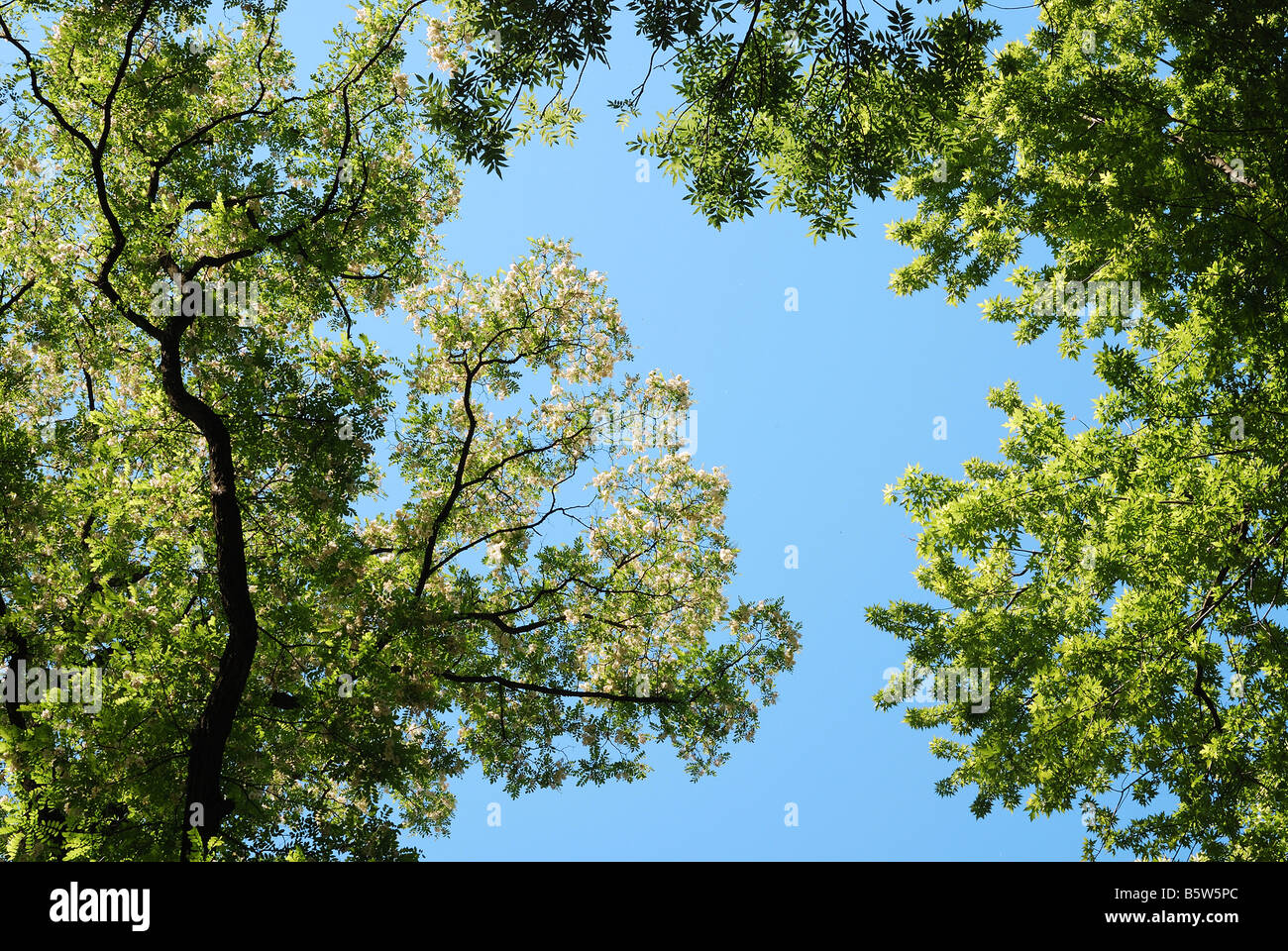 Blue summer sky through rich green crowns of maple and flowered acacia bottom view - Stock Image