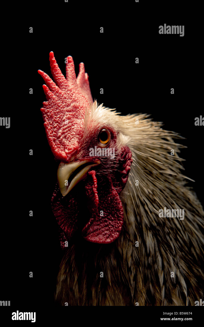 Portrait of a cockerel on a black background - Stock Image